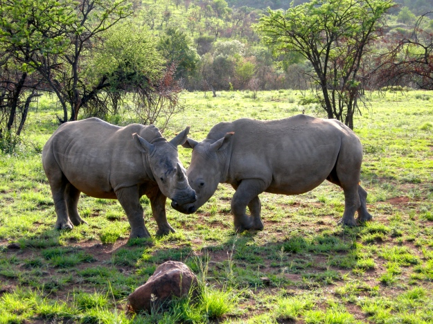Young rhinos goofing around in South Africa.  (Photo by author.)