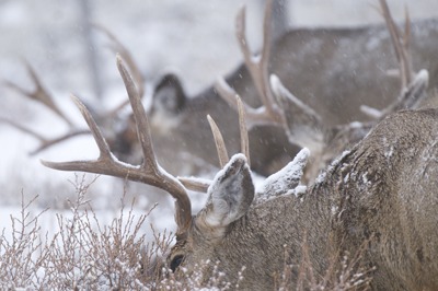 Muledeer.  (Photo:  Spring Creek Ranch)