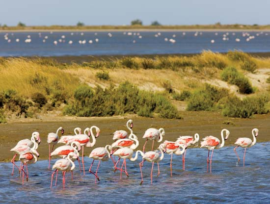 Pink flamingos in Carmargue Nature Park.