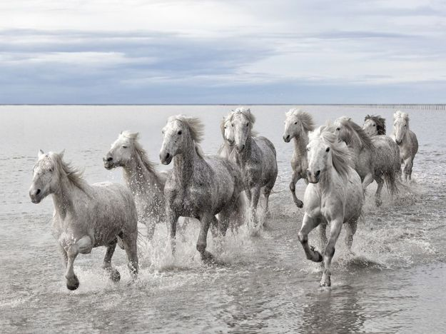 The wild horses of the Carmargue.