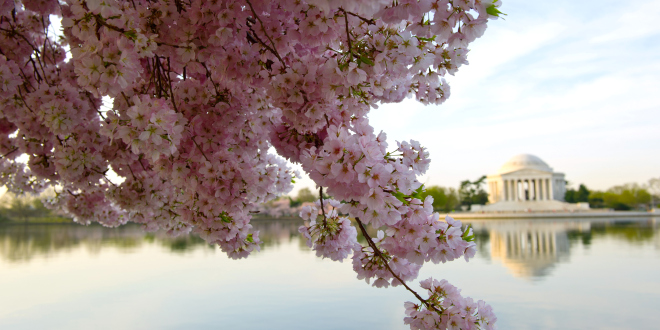 US-FEATURE-CHERRY BLOSSOMS