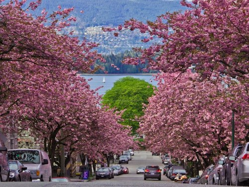 Vancouver's very cherry trees.  (Photo credit: Richard Greenwald)