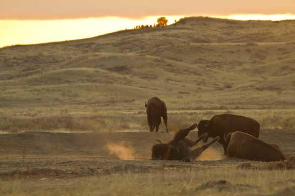 Montana buffalo in their own backyard.