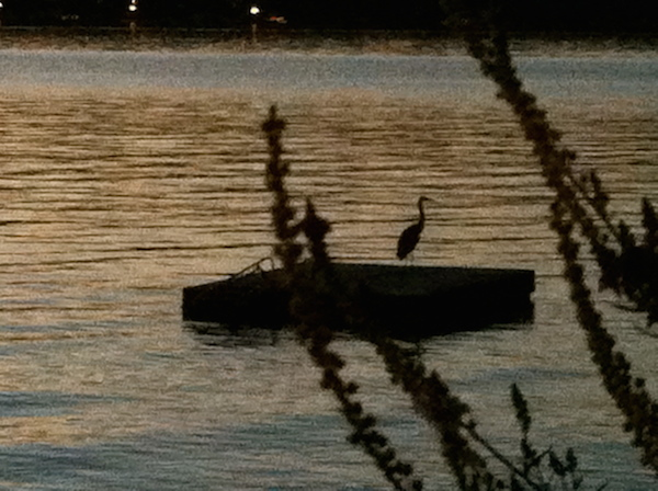 A great blue heron settles into a Hood Canal happy hour.  (Photo: Claudia Santino)